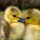 Young yellow goslings