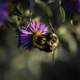 Bee on violet flower