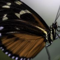 Black and orange butterfly with white dots on wing macro