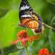 Black and Orange Butterfly