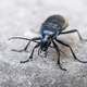 Black Beetle  on Concrete