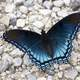 Blue Butterfly on the ground