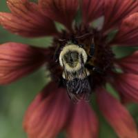 Bumblebee in the center of a red flower