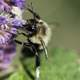 Bumble Bee on purple flower at Horicon