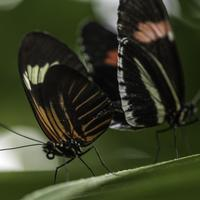 Butterfly Mating Action