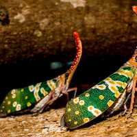 Canthigaster Cicada Insect
