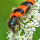 Checkered Beetle on white flower - trichodes apiarius