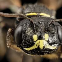Close up macro of a Bee Face