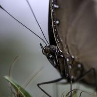 Close-up of black butterfly head