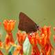 Coral Hairstreak, Satyrium titus