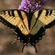 Eastern Tiger Swallowtail,Papilio glaucus Butterfly