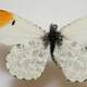 Falcate Orangetip, Anthocharis midea Butterfly
