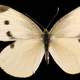 Female Cabbage White, Pieris rapae