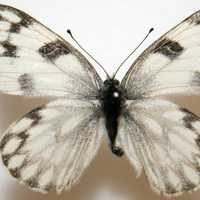 Female Checkered White, Pontia protodic. Butterfly