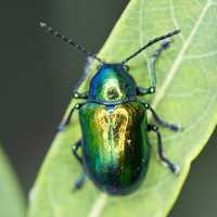 Green Beetle on blade of grass