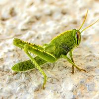 Green Grasshopper on the ground Macro