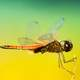Large magnified photos of dragonfly macro