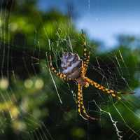 Large web weaving spider