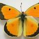 Male Orange Sulphur, Colias eurytheme