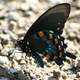Male Pipevine Swallowtail, Battus philenor butterfly