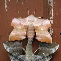 Mating Pair of Hawkmoths - Laothoe populi