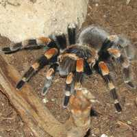 Mexican red-kneed tarantula Brachypelma smithi