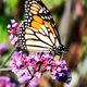 Monarch Butterfly sitting on Purple Flowers