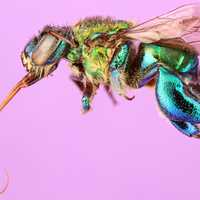 Orchid bee Closeup Macro
