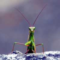 Praying Mantis insect looking at Camera