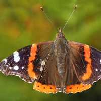 Red Admiral Butterfly -- Vanessa atalanta