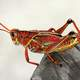 Red Grasshopper on Wood