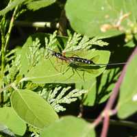 Sabre Wasp on Leaf