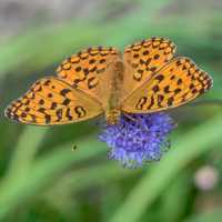 Silver-washed Fritillary on Violet Flower