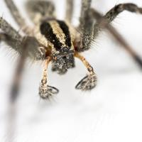 Wolf Spider closeup of front