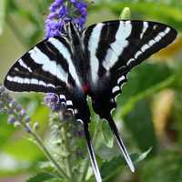Zebra Swallowtail, Eurytides marcellus Butterfly