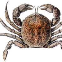 Bellia picta - a species of crab from South America