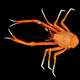 Eumunida picta - a species of squat lobster
