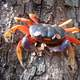 Halloween moon crab - Gecarcinus quadratus