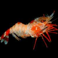 Heterocarpus ensifer, a deep water shrimp