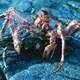Lithodes maja - A species of King Crab