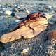 Red Crab on Driftwood