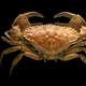 Toothed rock crab - Cancer bellianus