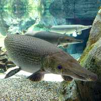 Alligator Gar swimming - Atractosteus spatula