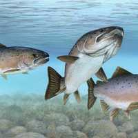 Atlantic Salmon in a Group -- Salmo salar