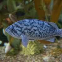 Blue Patterned Fish