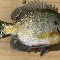 Bluegill 7 incher