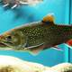 Brook Trout in Aquarium - Salvelinus fontinalis