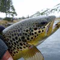 Brown Trout caught by Angler