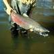 Captured Chinook Salmon - Oncorhynchus tshawytscha