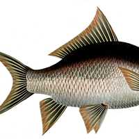 Catla or Indian Carp - Catla catla